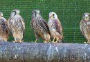 El centro de recuperación de fauna La Granja recibió más de 1.600 llamadas para recoger animales en 2016
