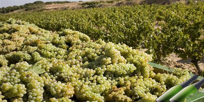 LA UNIÓ de Llauradors y la Unión de Extremadura presentan conjuntamente un recurso contra la normativa del MAPA que limita la autorización de nuevas hectáreas de uva para cava